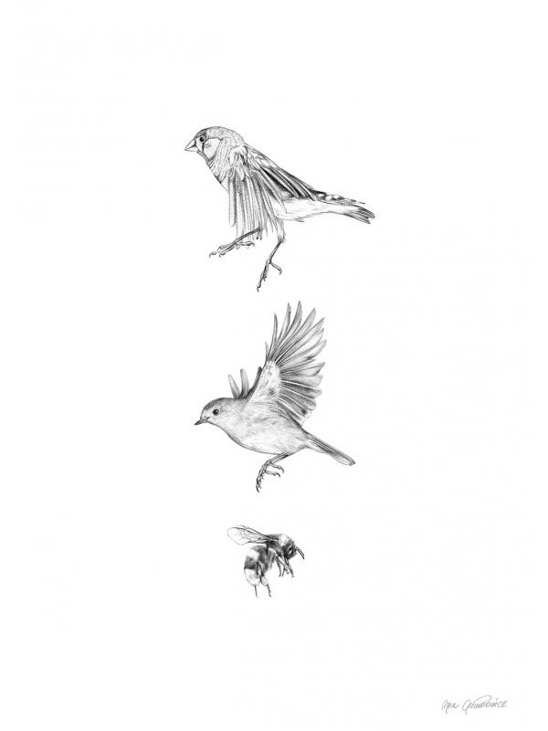 Finch, robin and bumblebee – fine art prints by Aga Grandowicz