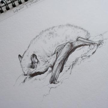Soprano Pipistrelle bat – drawing by Aga Grandowicz