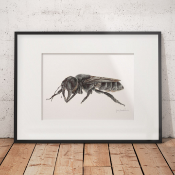 Wallace's Giant Bee – original drawing