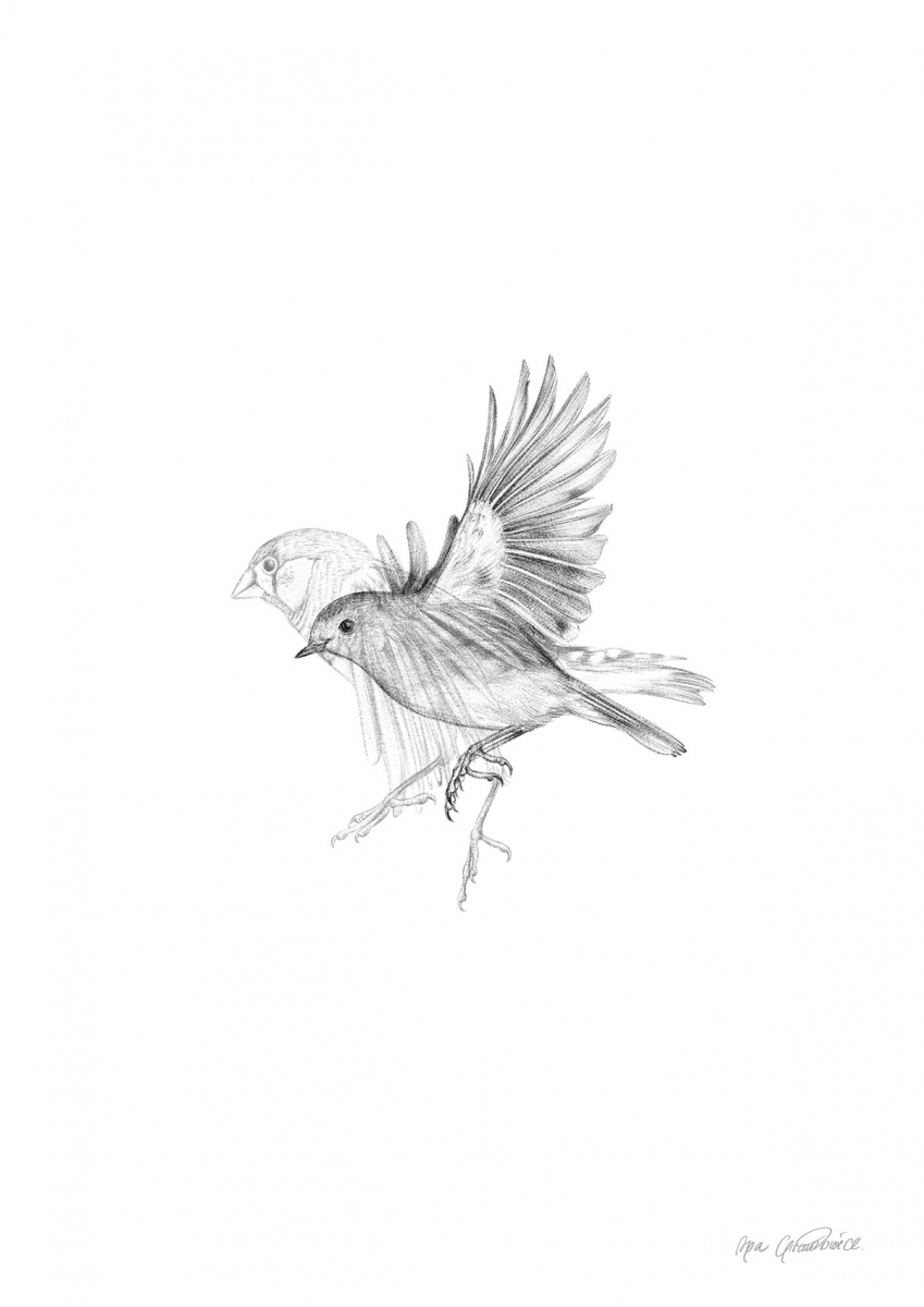 robin and finch wildlife drawing